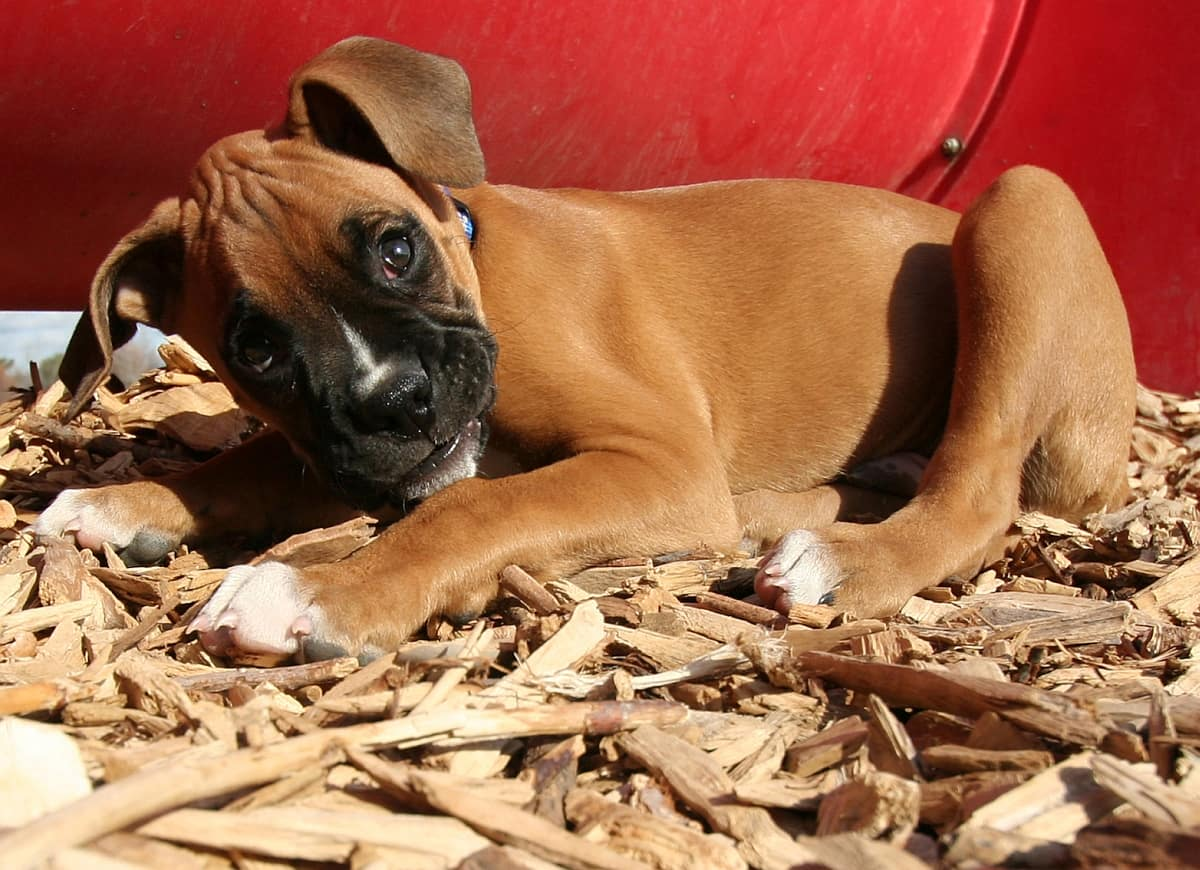 Is Pine Shavings Really Good For Your Puppies? - Cupid Dogs