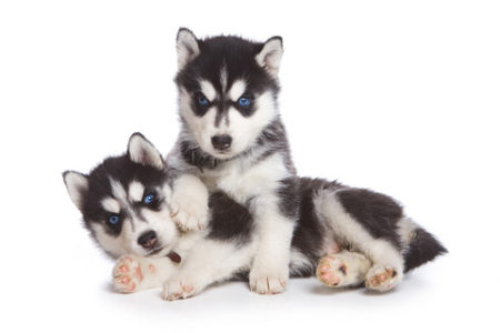 The pride of a Siberian Husky Breeder