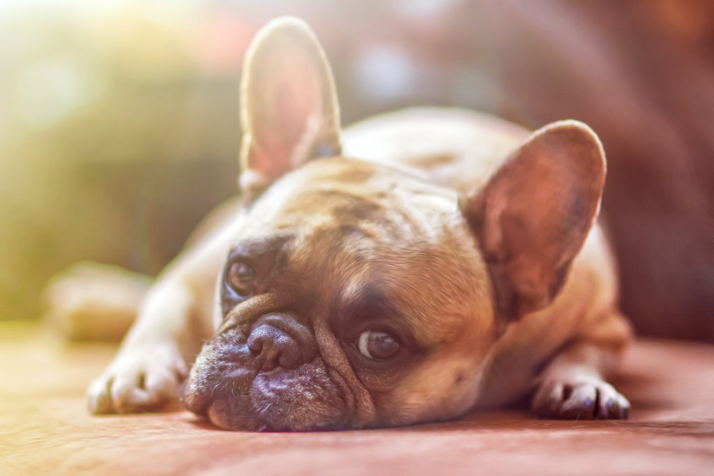 French Bulldogs are a small dog with a big heart.