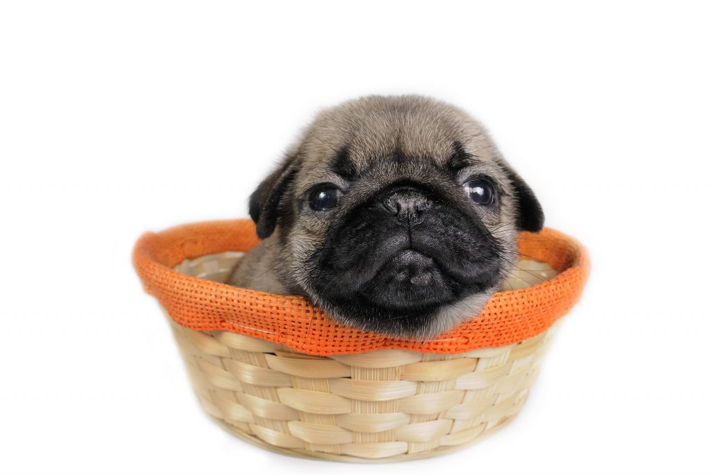 A fading puppy needs colostrum and you may need to express milk to provide him with it.