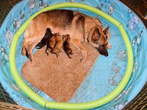 Kiddie pools have been a tried and tested whelping box for large breeds for years.