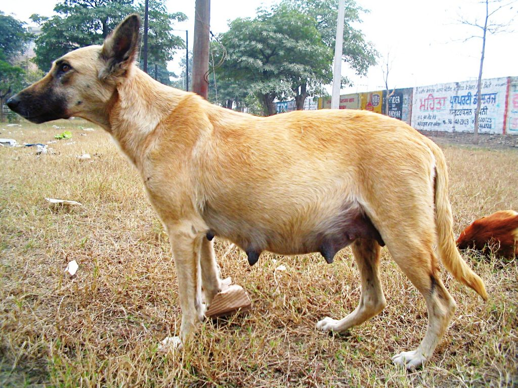 Near the end of your dog's pregnancy, you will see her shed her mucus plug.