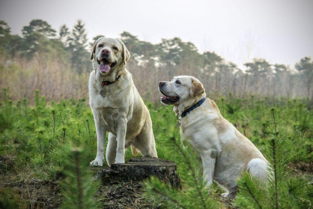 A major con of inbreeding dogs is inbreeding fatigue.