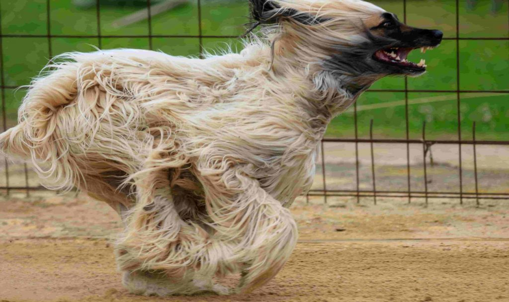 Inbreeding dogs can lock in positive traits but it can also lock in health problems.