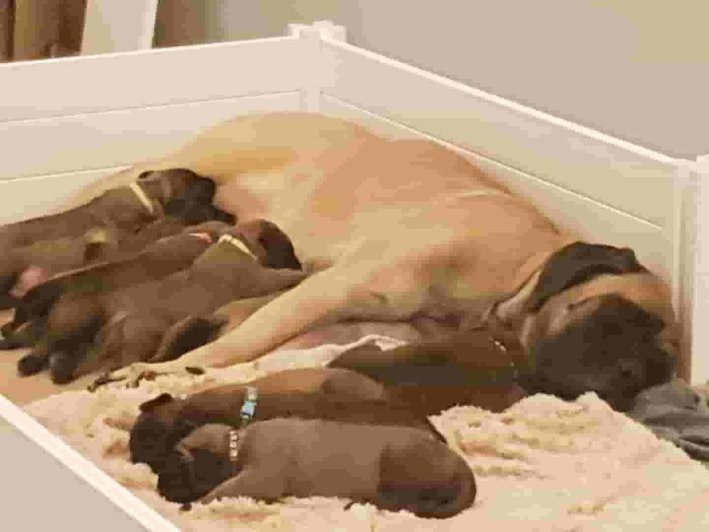 A clean whelping box means a happy and healthy mom and pups.