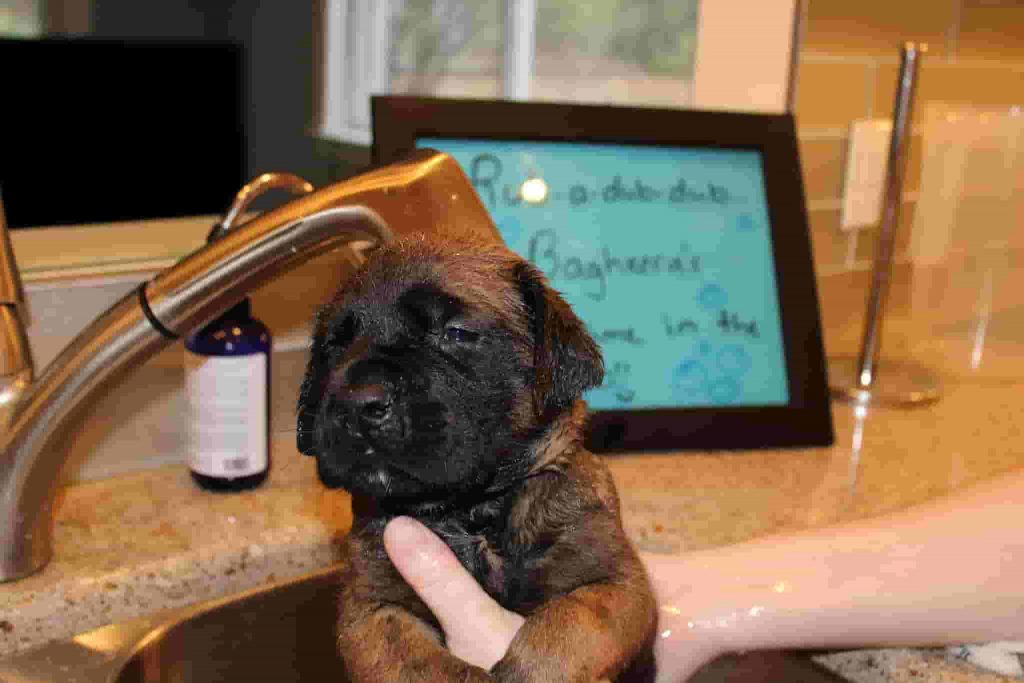 Bathe puppies in water after they turn 4 weeks old.