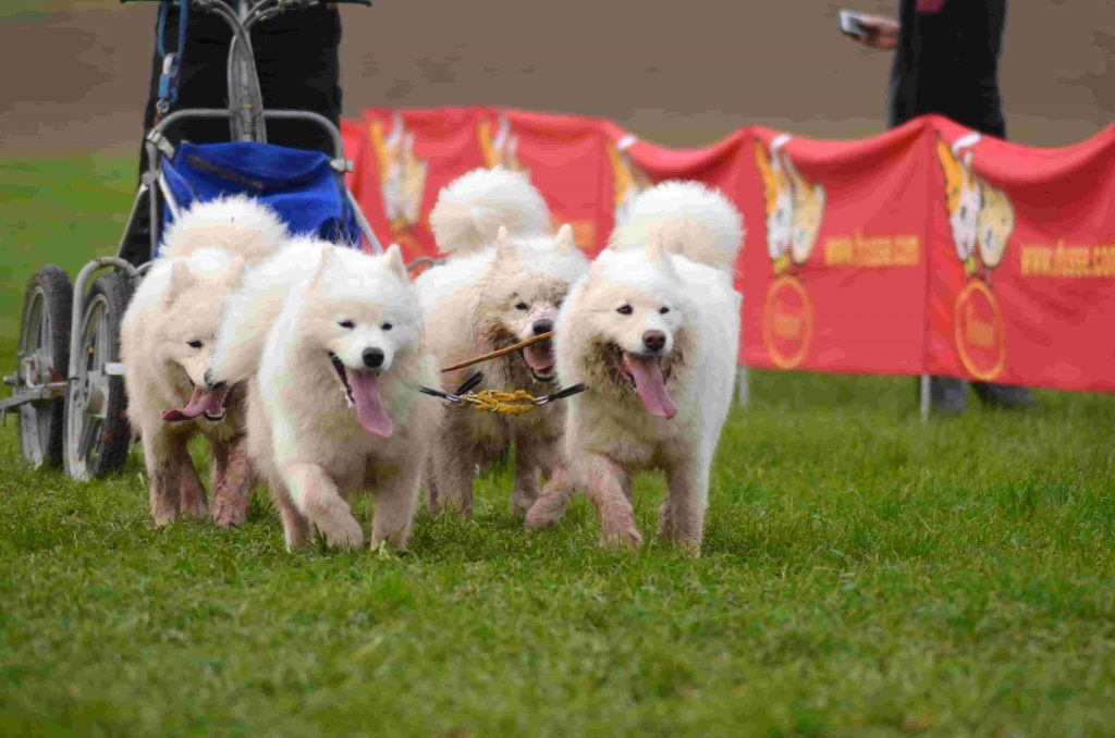 Parvo outbreaks have been seen at dog shows.