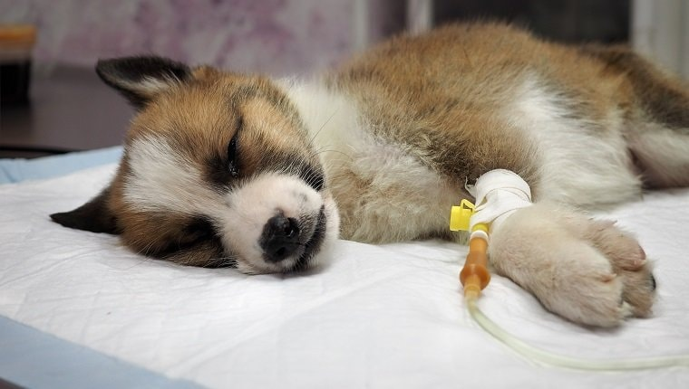 Always seek veterinarian care for your dog with parvo.