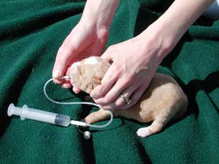 It may be important to see a vet to help with treatment of a congested puppy.