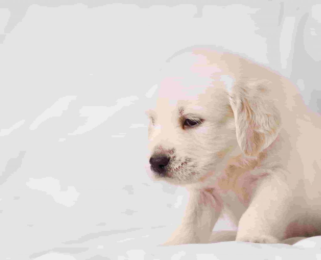 A sore tummy can make newborn puppies cry.